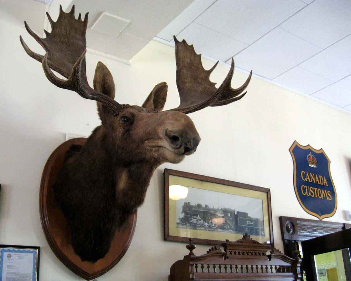 Look at the size of these antlers. A moose has really strong muscles in its neck to hold up the weight of the antlers.