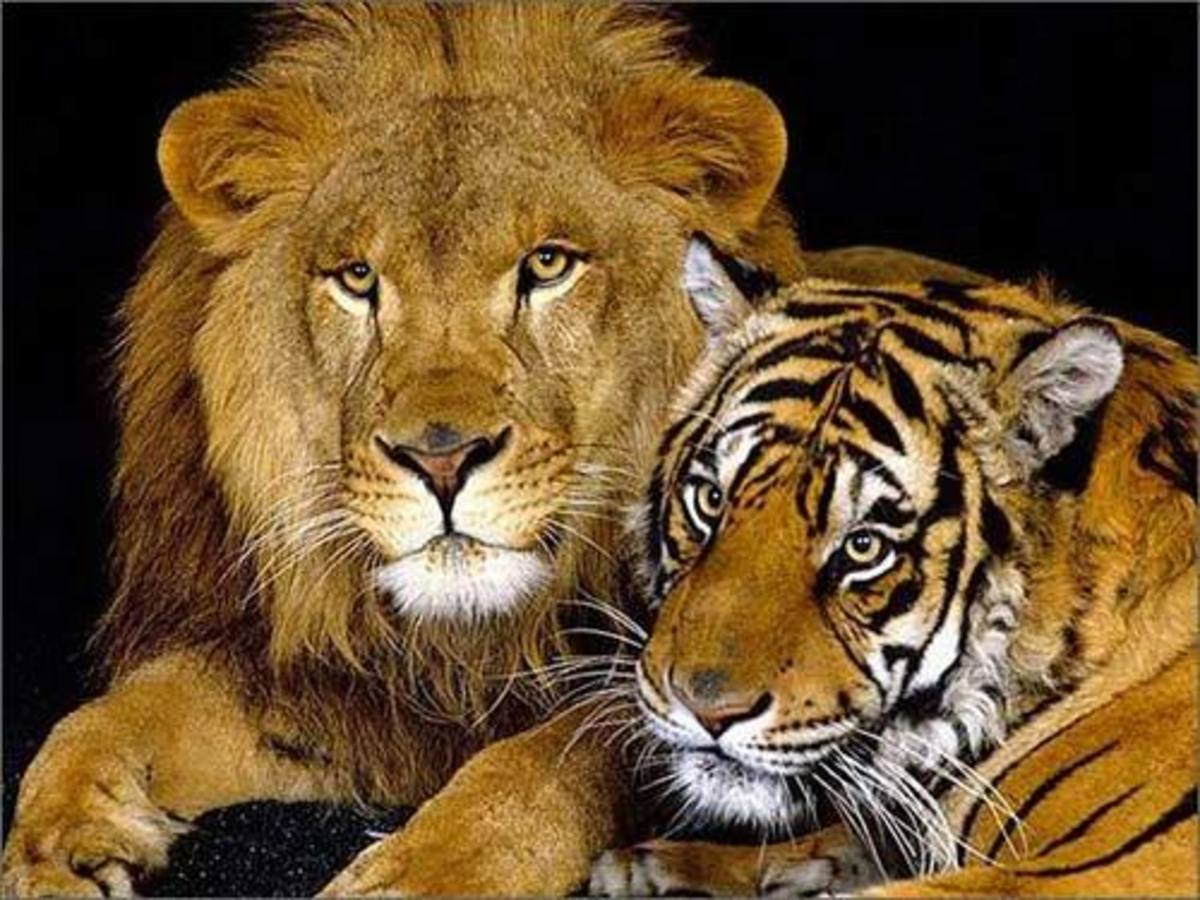 Lions Vs  Tigers: REAL King of Beasts   HubPages