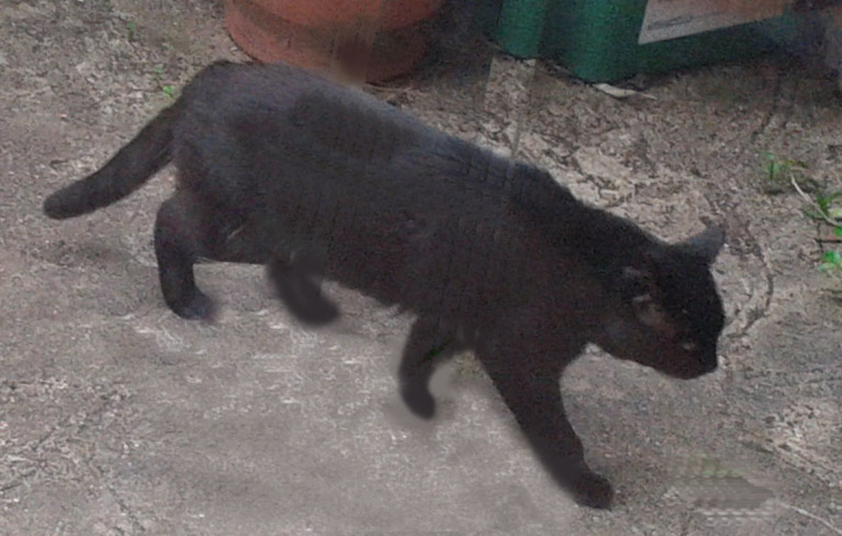 A nice little black cat - One of the neighbour's cats wandering through our yard