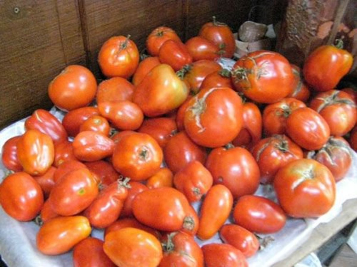 Bountiful tomato harvest