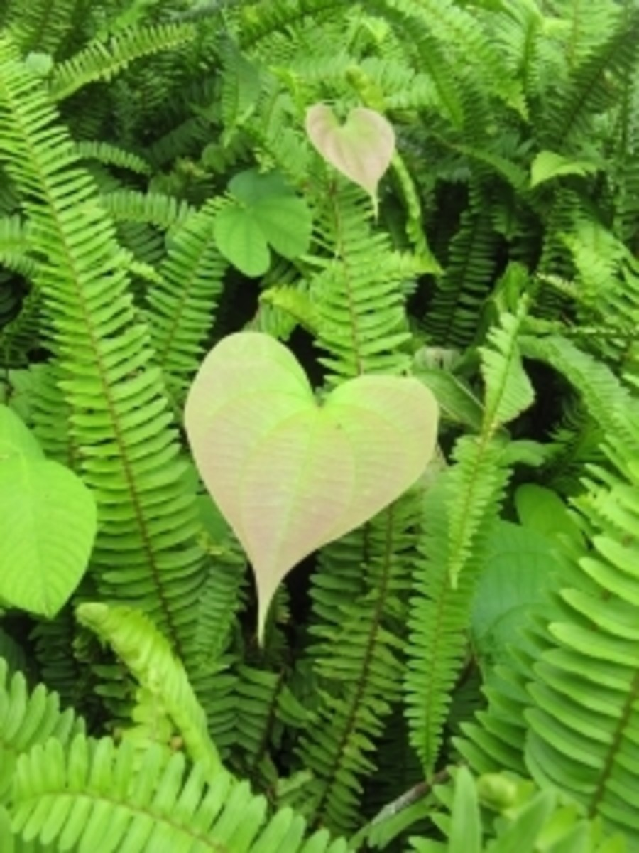 A heart-shaped leaf among green fern leaves