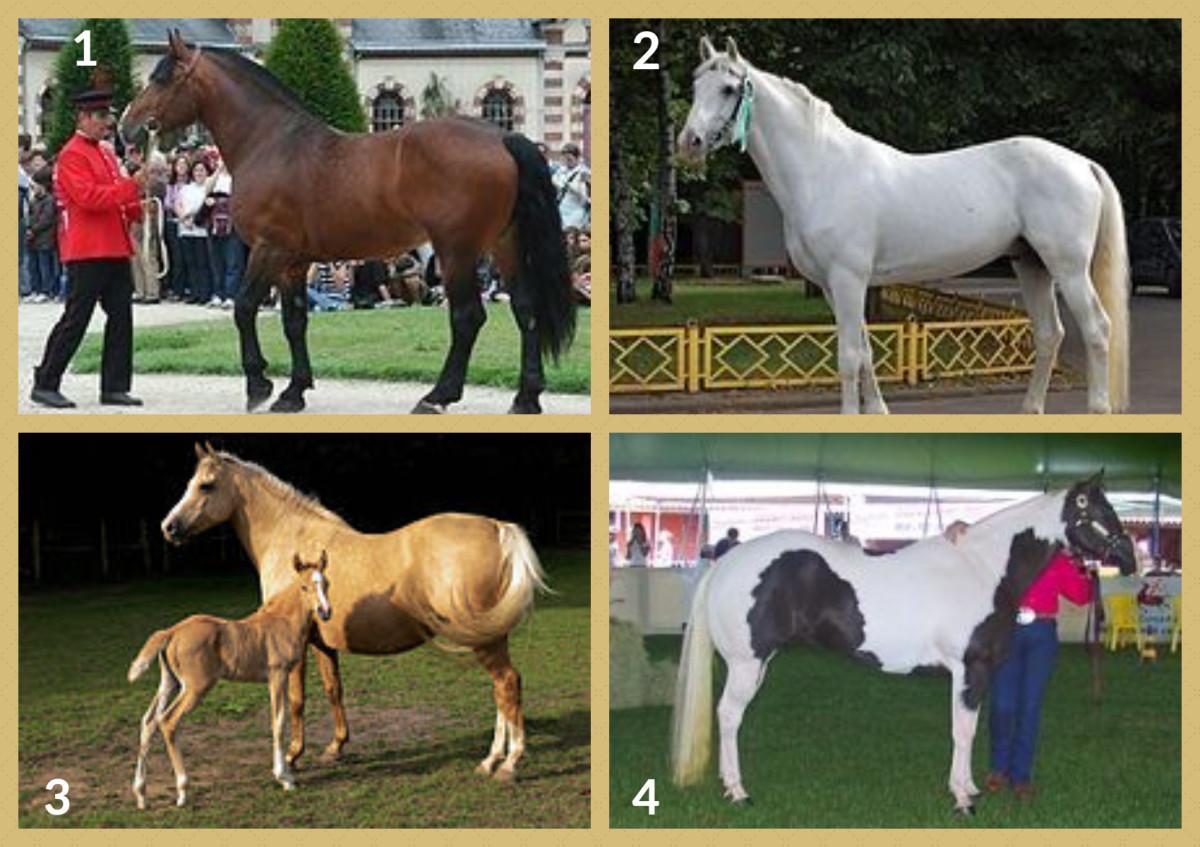 1. Norman Cob 2. Orlov Trotter 3. Palomino Horse 4. Pindos Horse