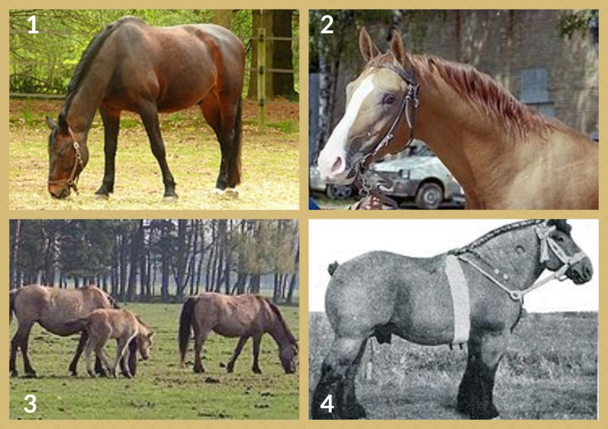 1. Danish Warmblood Horse  2. Don Horse 3. Dulmen Pony 4. Dutch Draft Horse
