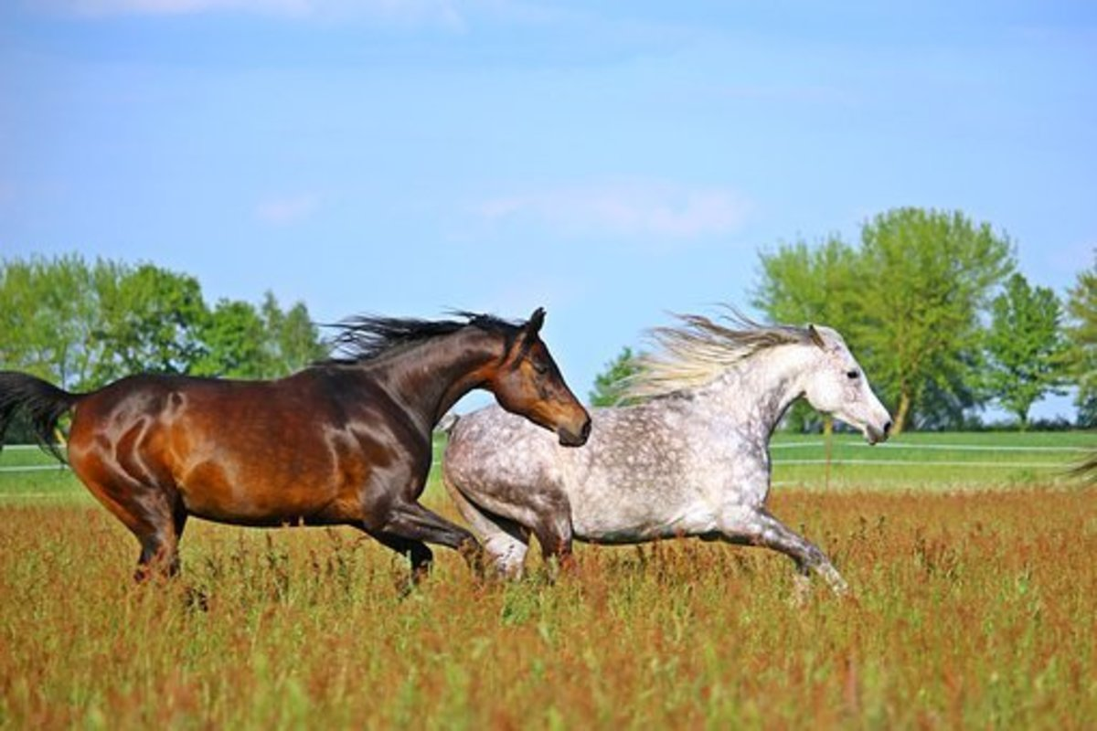 List of Horse Breeds: A to Z Guide