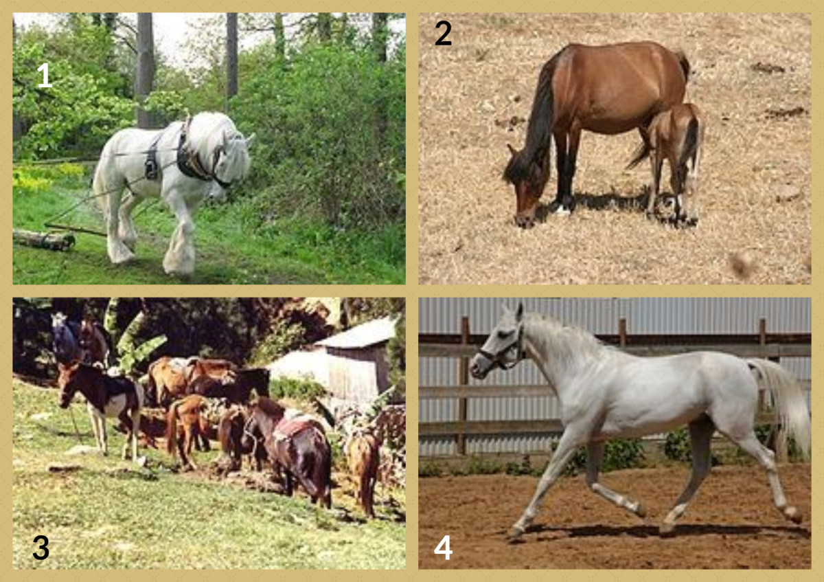 1. Shire Horse 2. Skyros Pony 3. Timor Pony 4. Tersk Horse