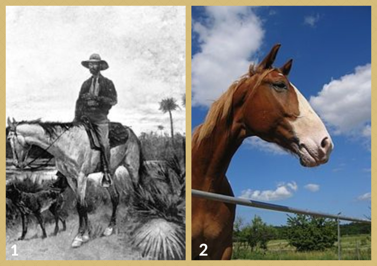 1. A Florida Cracker horse and Cowboy - 1895 drawing 2. Frederiksborg Horse