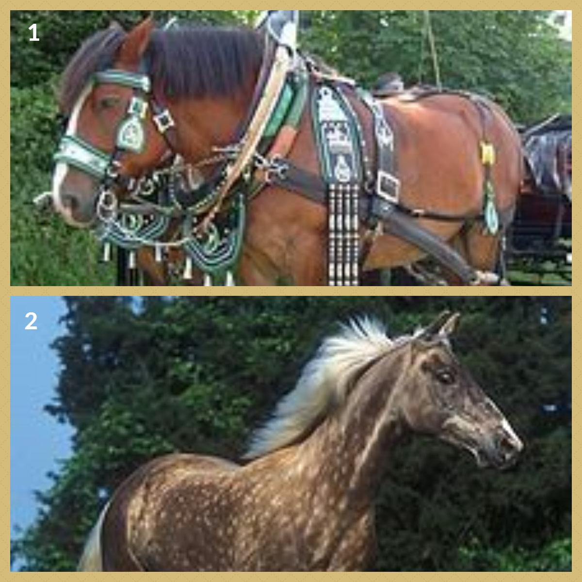 1.  Rhenish Draft Horse 2.  Rocky Mountain Horse