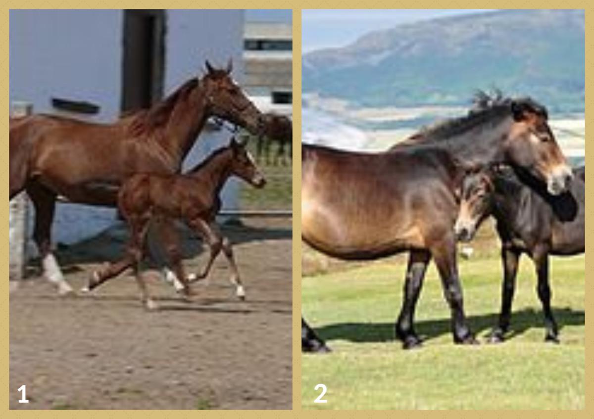 1. East Bulgarian Horse 2. Exmoor Horse