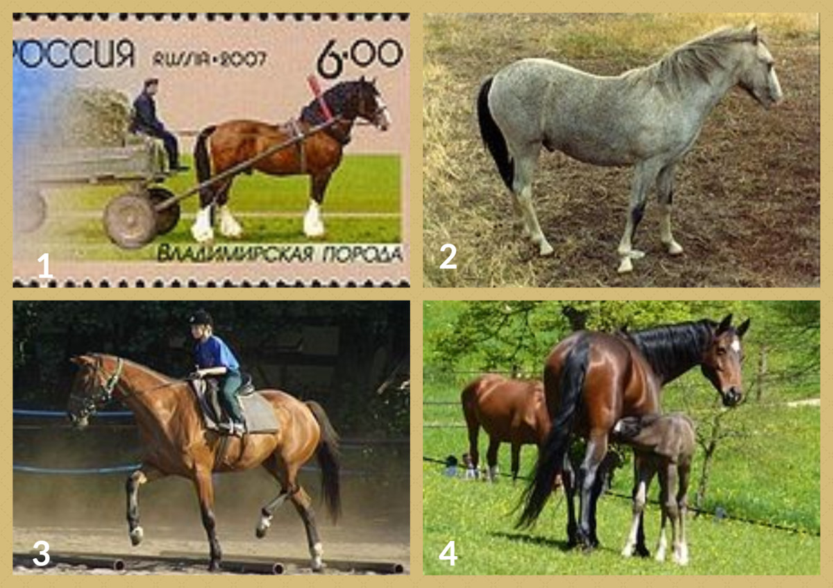 1. Vladimir Horse 2. Welsh Cob 3. Wielkopolski Horse         4. Wurttemberg Horse