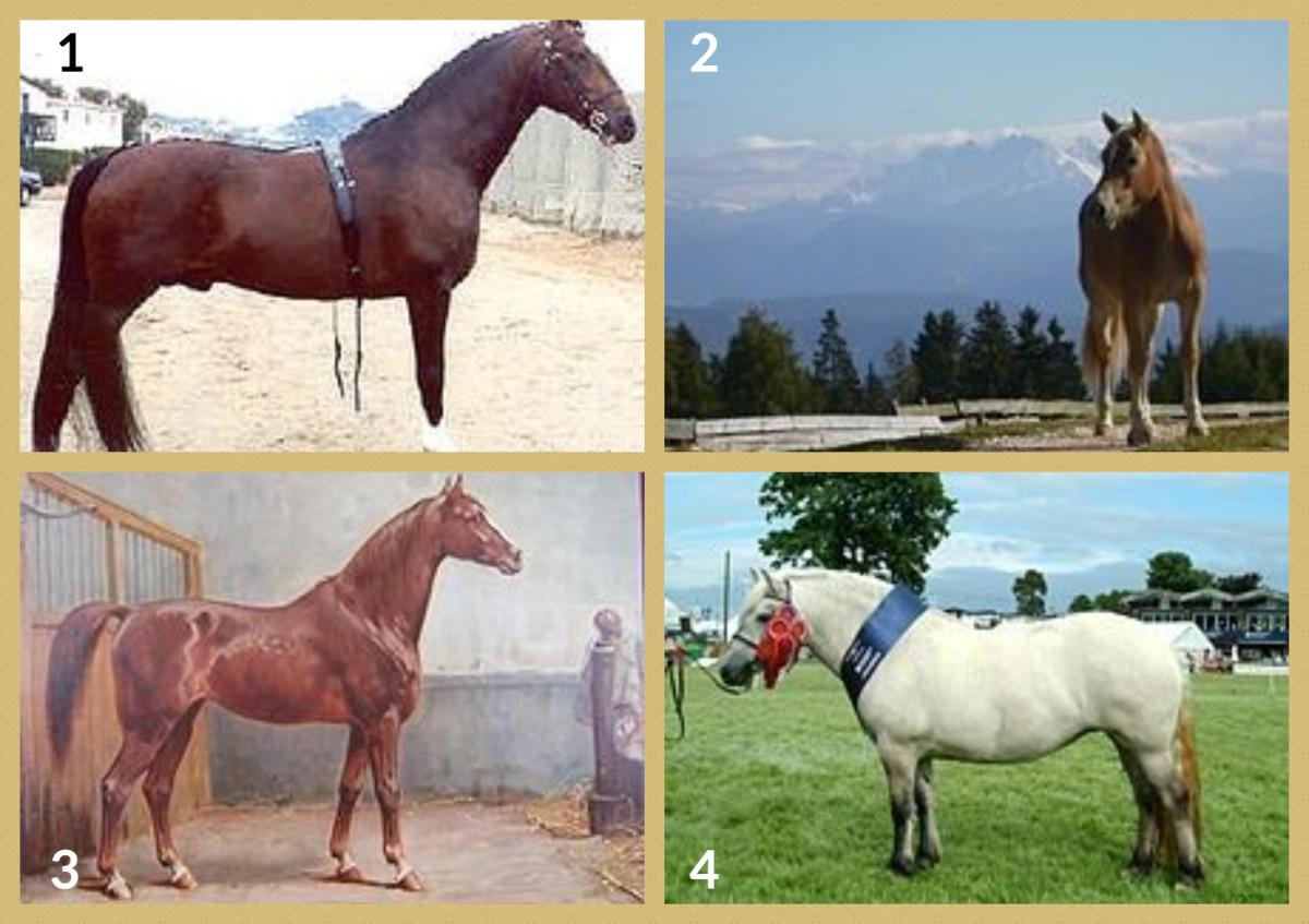 1. Hackney Pony 2. Haflinger Horse 3. Hanoverian Horse 4. Highland Pony