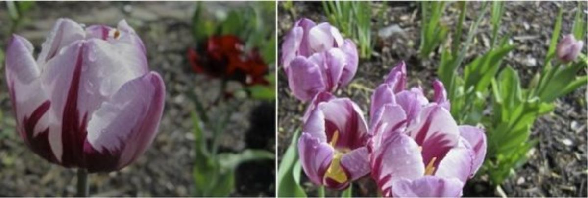 Here's a group that started with just one bulb a few years ago. The tulip in the background of the first photo is Purple Crown.