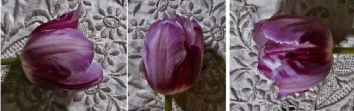 my-period-garden-rare-unusual-antique-heirloom-spring-bulbs