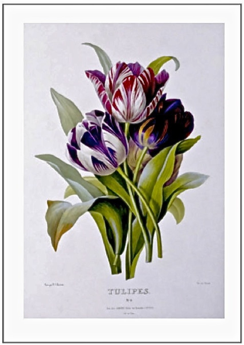 Tulips.    Botanical Illustration by Pierre-Joseph Redouté