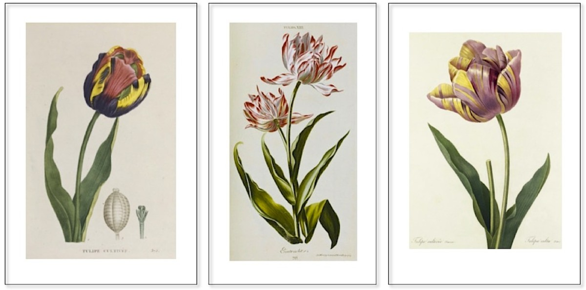 A few of the tulips lost over time (described below)
