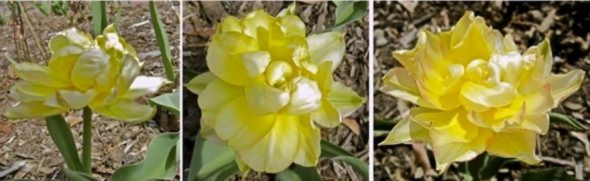 Photos show the progressive color change of T. Peony Gold over several days.