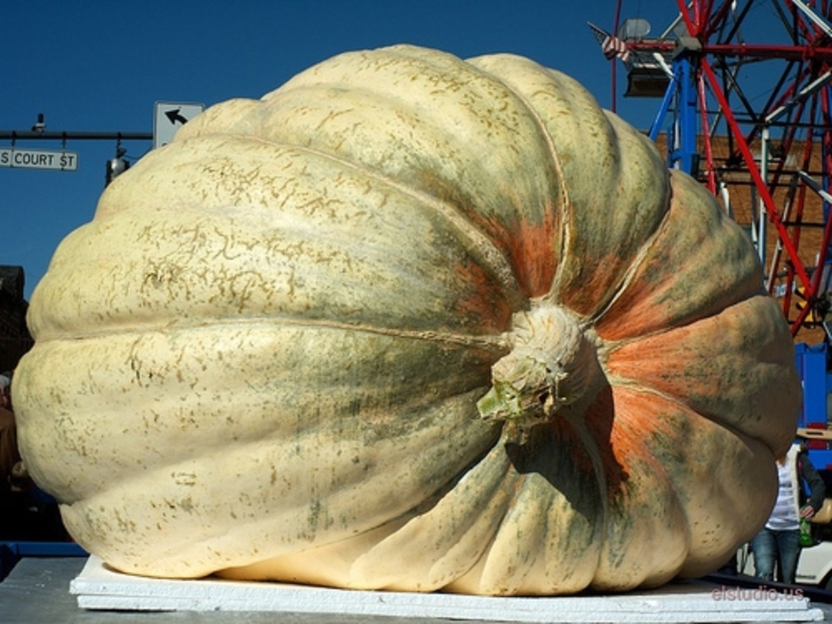 facts about pumpkins -giant pumpkins