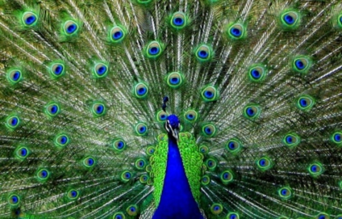 The Beauty of Peacock Feathers