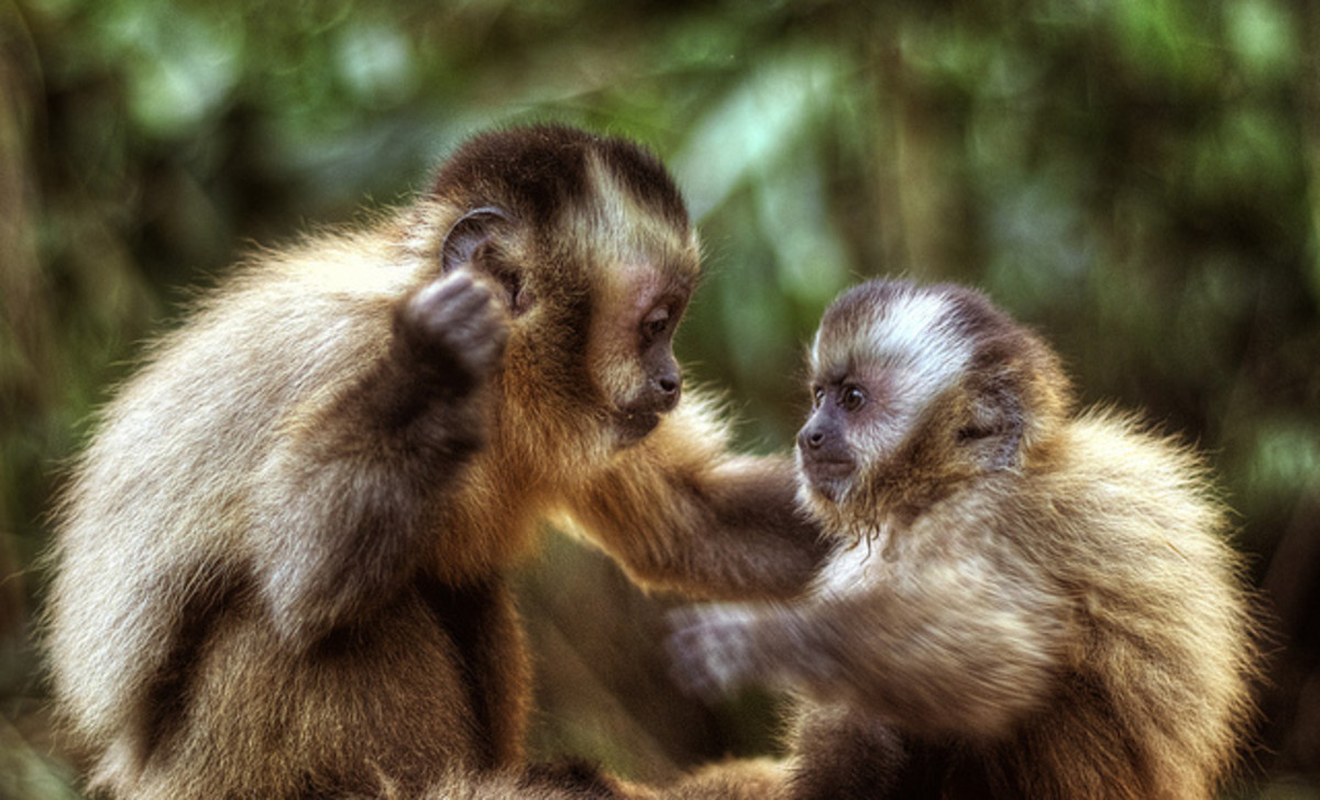 Blonde Capuchin Monkey, Cebus queirozi