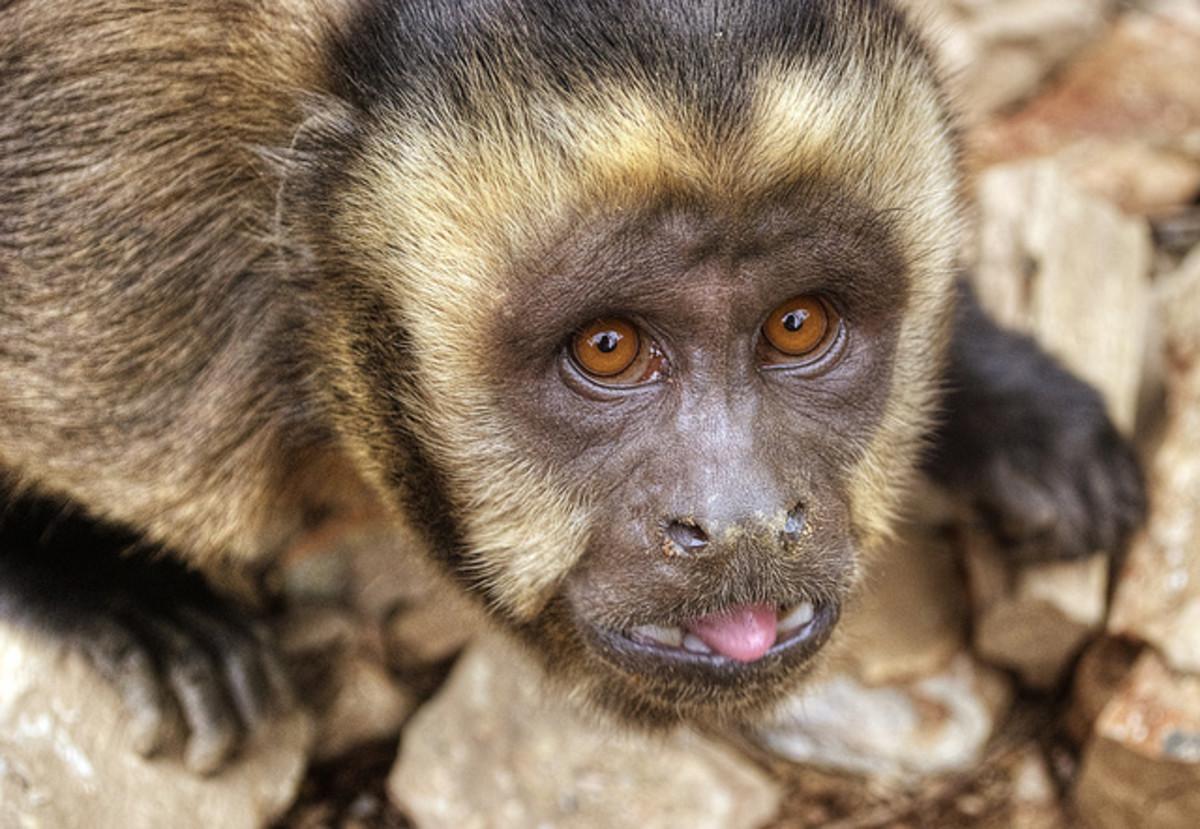 blond-capuchin-monkey
