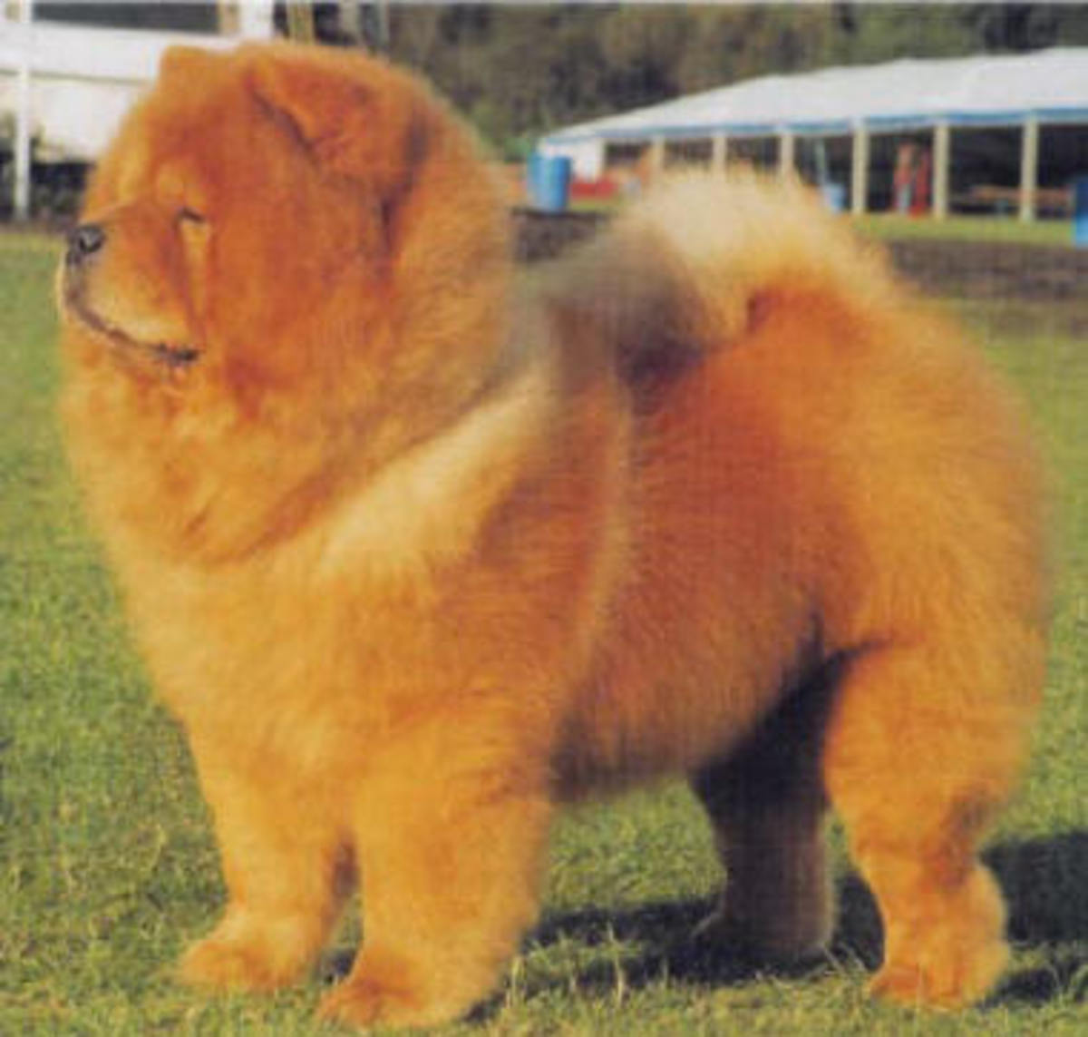 Do chow mix dogs carry the features of purebred ones?
