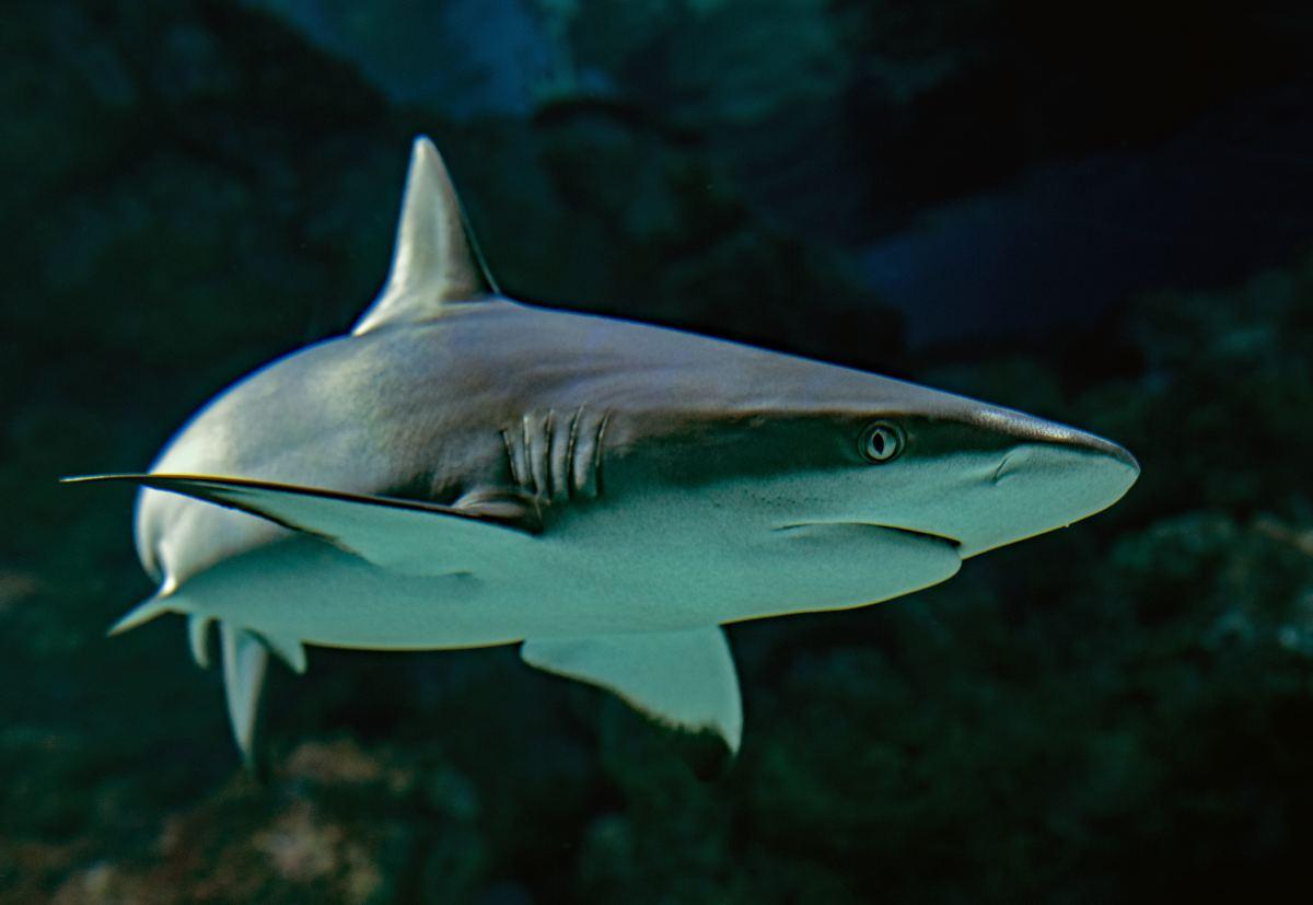 Shark Cartilage