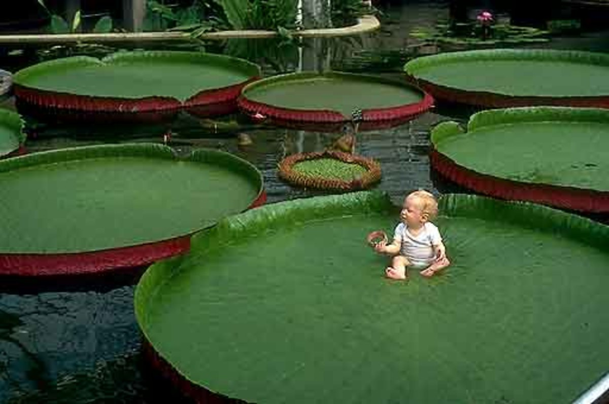 Baby on water lily giant leaf.