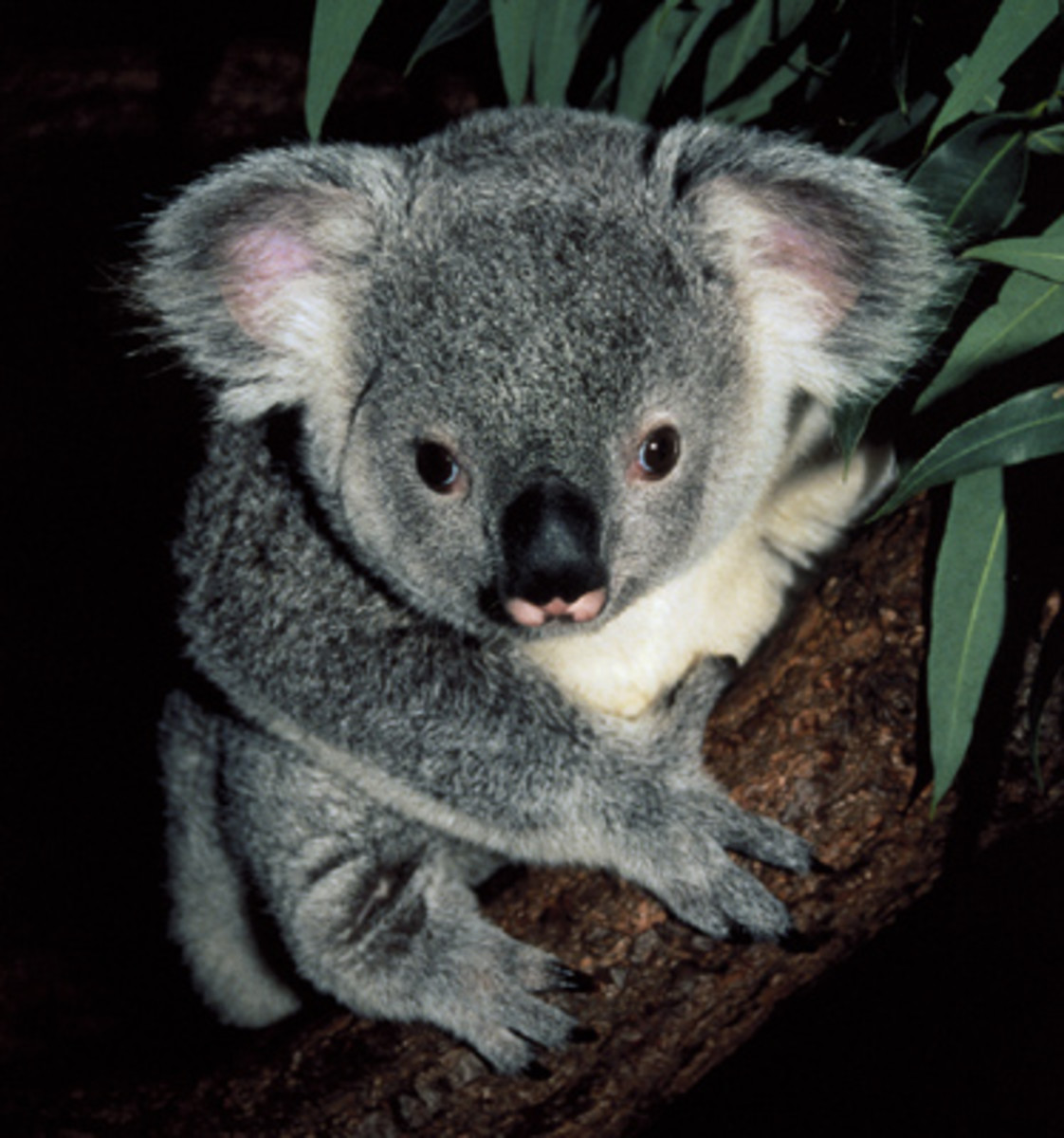Koala Bears: The Cutest, Cuddliest Animal in the World (That Will Rip Your Face Off)
