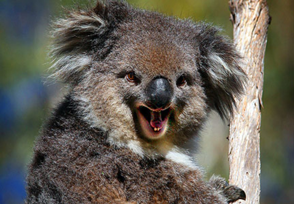 koala-bears-the-cutest-cuddliest-animal-in-the-world-that-will-rip-your-face-off