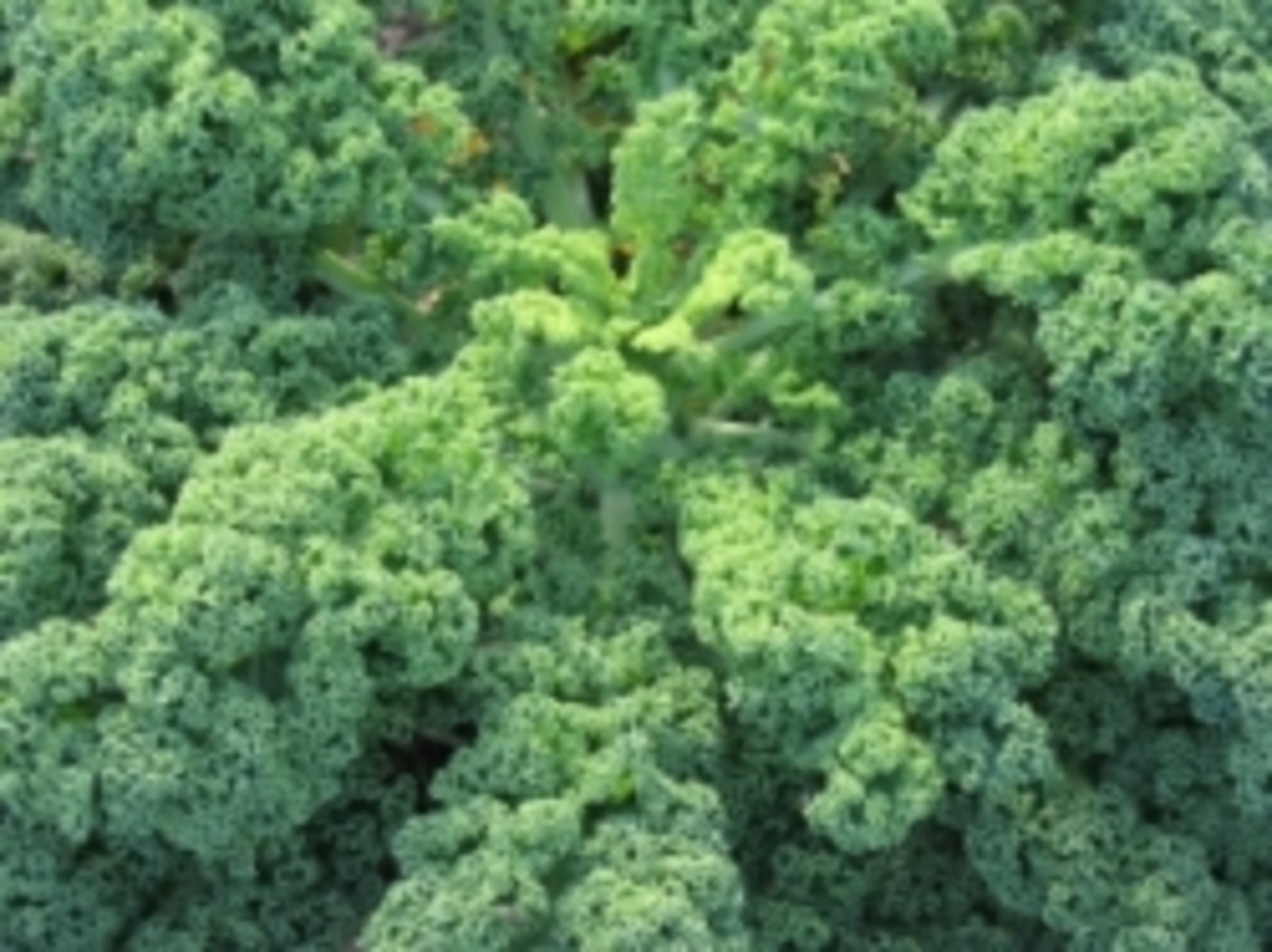 The Wahls Diet emphasizes healthy greens such as kale.