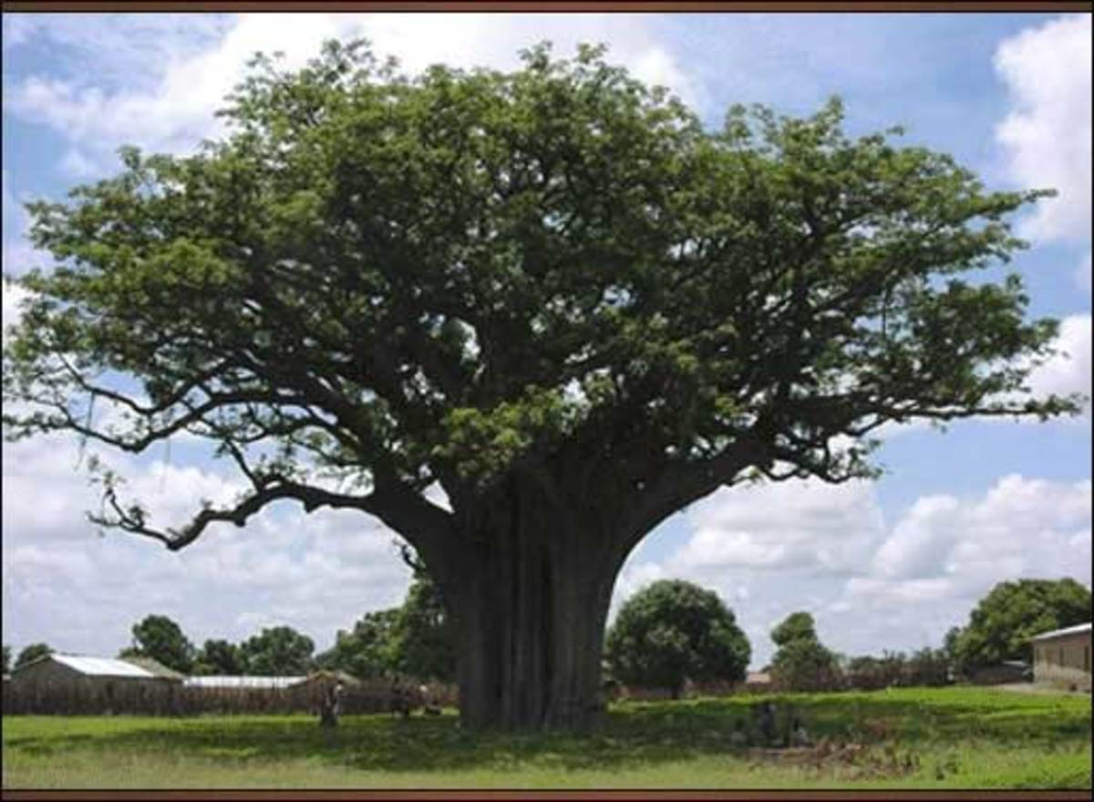 The Karite tree that produces the shea nut fruit.