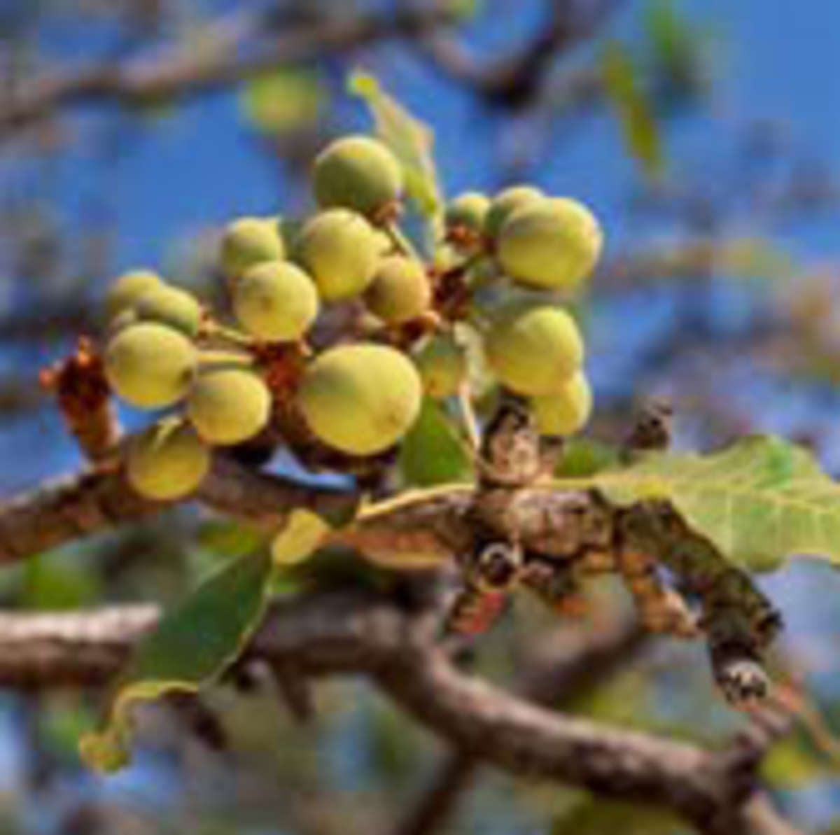 Fruit from the Karite tree that is the shea nut.