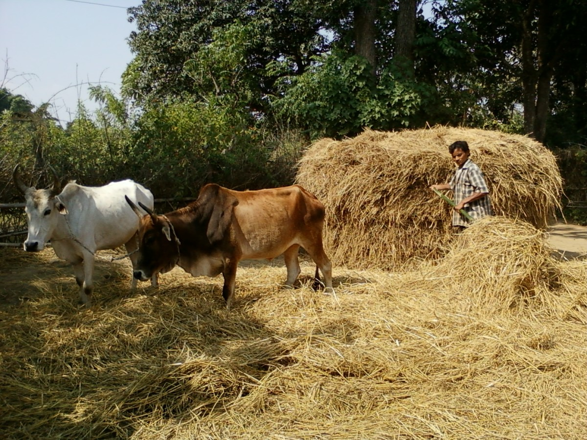 Another way of threshing rice is by making oxen walk on the mound of rice plant.