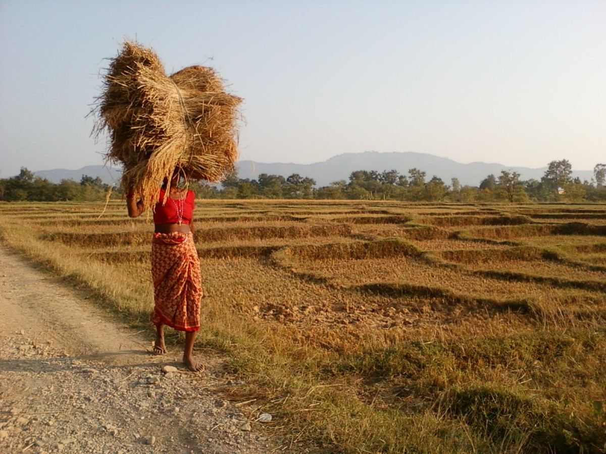 A woman with the load of rice harvest walks past the paddy field