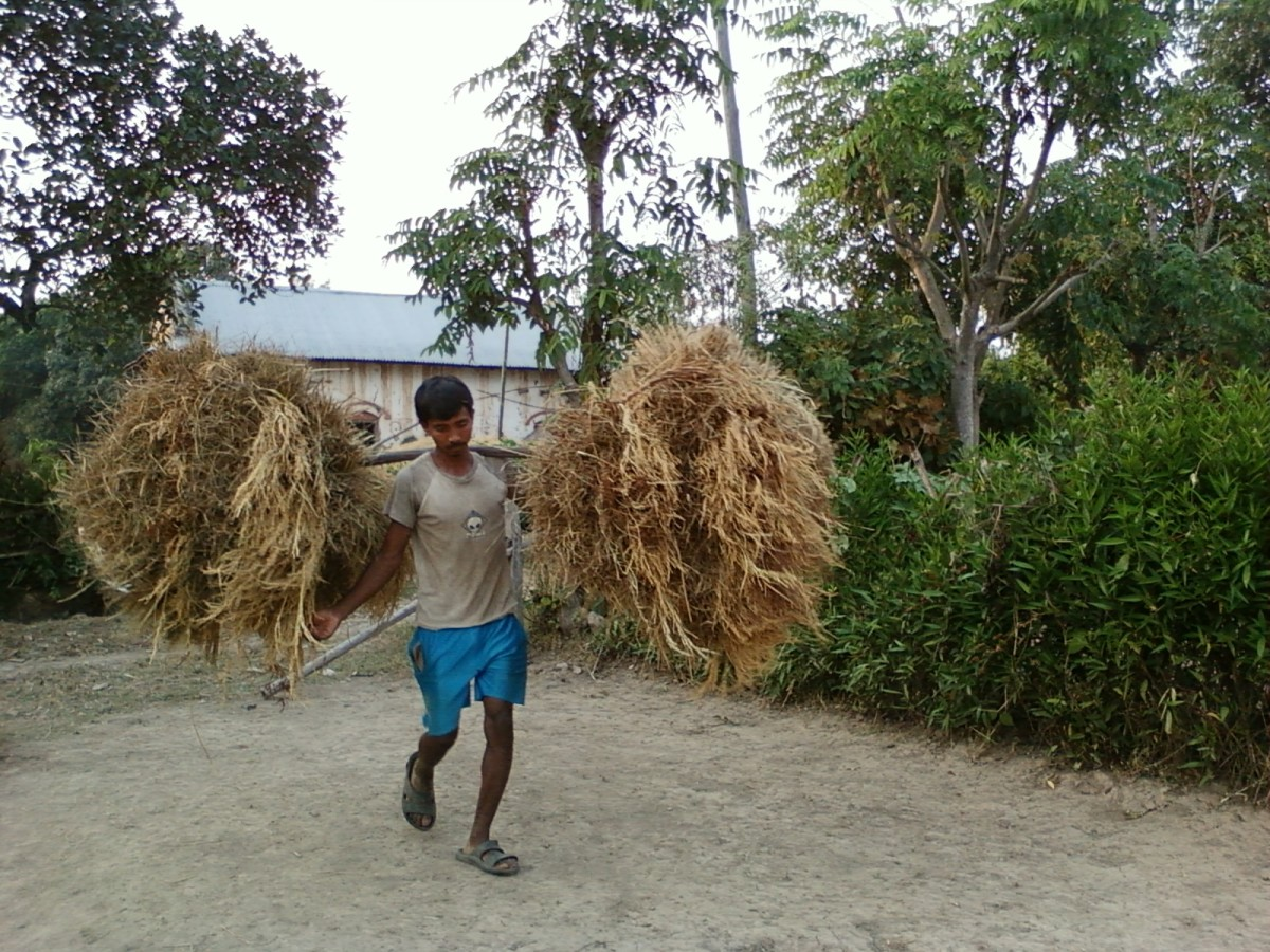 A man walks into the farmyard with the load of rice plant.