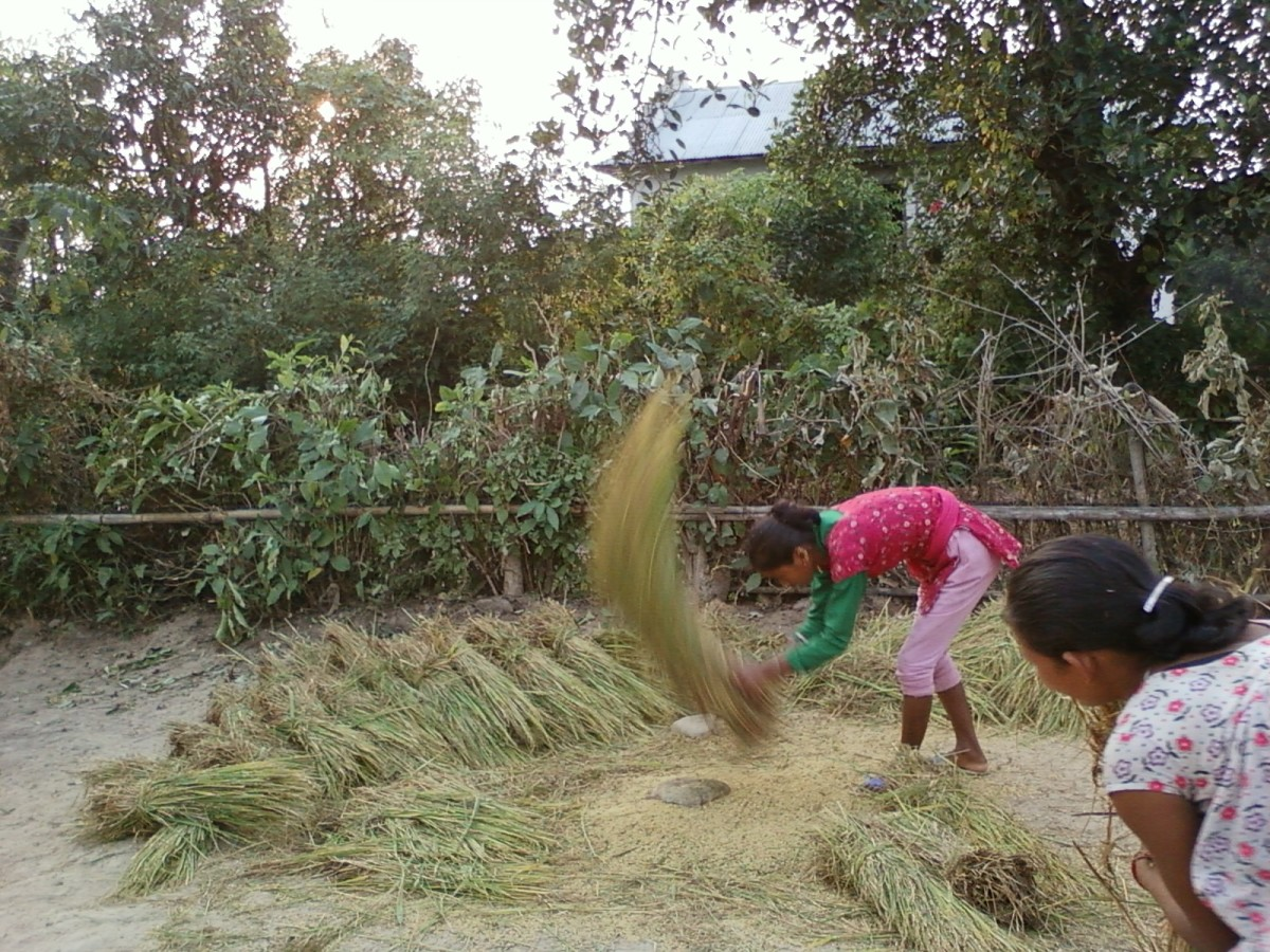A girl threshing rice. Agriculture is not mechanized in Nepal.