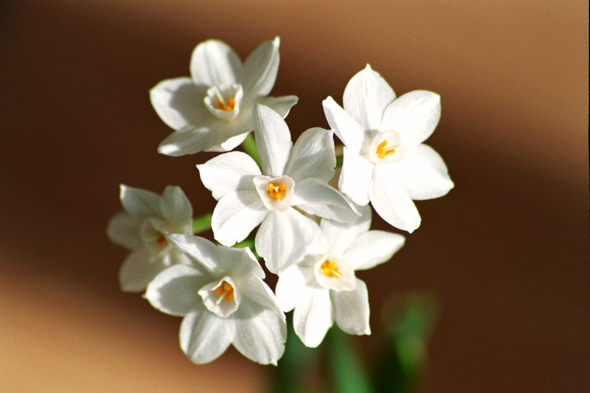 Paperwhites That Won't Flop Over