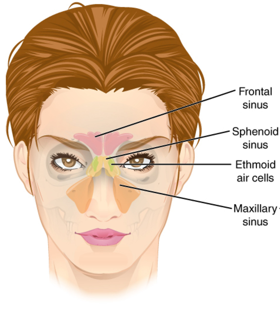 Nasal Sinuses that can be blocked.