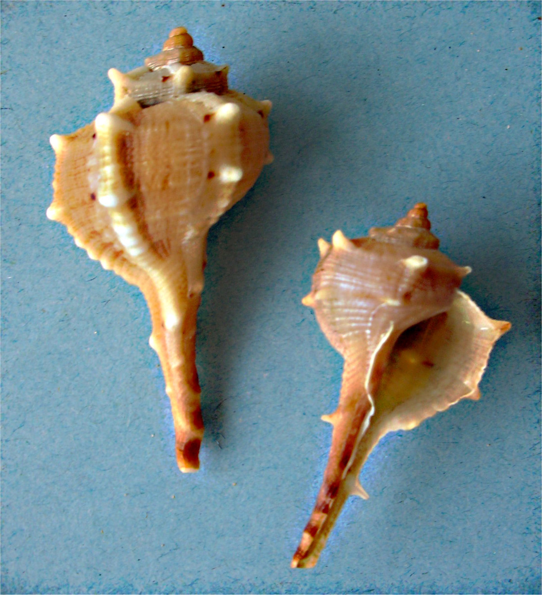 Spiny dye-murex - the shell of the Mollusc responsible for the original purple dye known to the ancient Romans as purpura