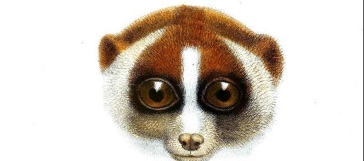 The two-tongued slow Loris is poisonous, to try to prevent orangutans from eating it, a strategy that is only partially successful. (And you thought you had problems.)