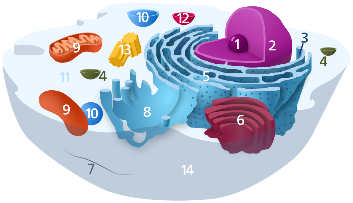 1. Nucleolus; 2, Nucleus; 3. Ribosome; 4. Vesicle; 5. Rough ER; 6. Golgi Body; 7. Cytoskeleton; 8. Smooth ER; 9. Mitochondrion; 10. Vacuole; 11. Cytoplasm; 12. Lysosome; 13. Centriole; 14. Cell Membrane