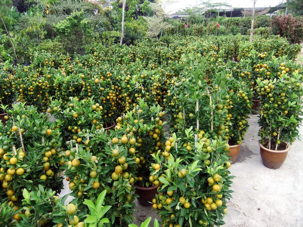 Hundreds of the half ripe orange plant waiting to be sold for the Chine New Year celebration