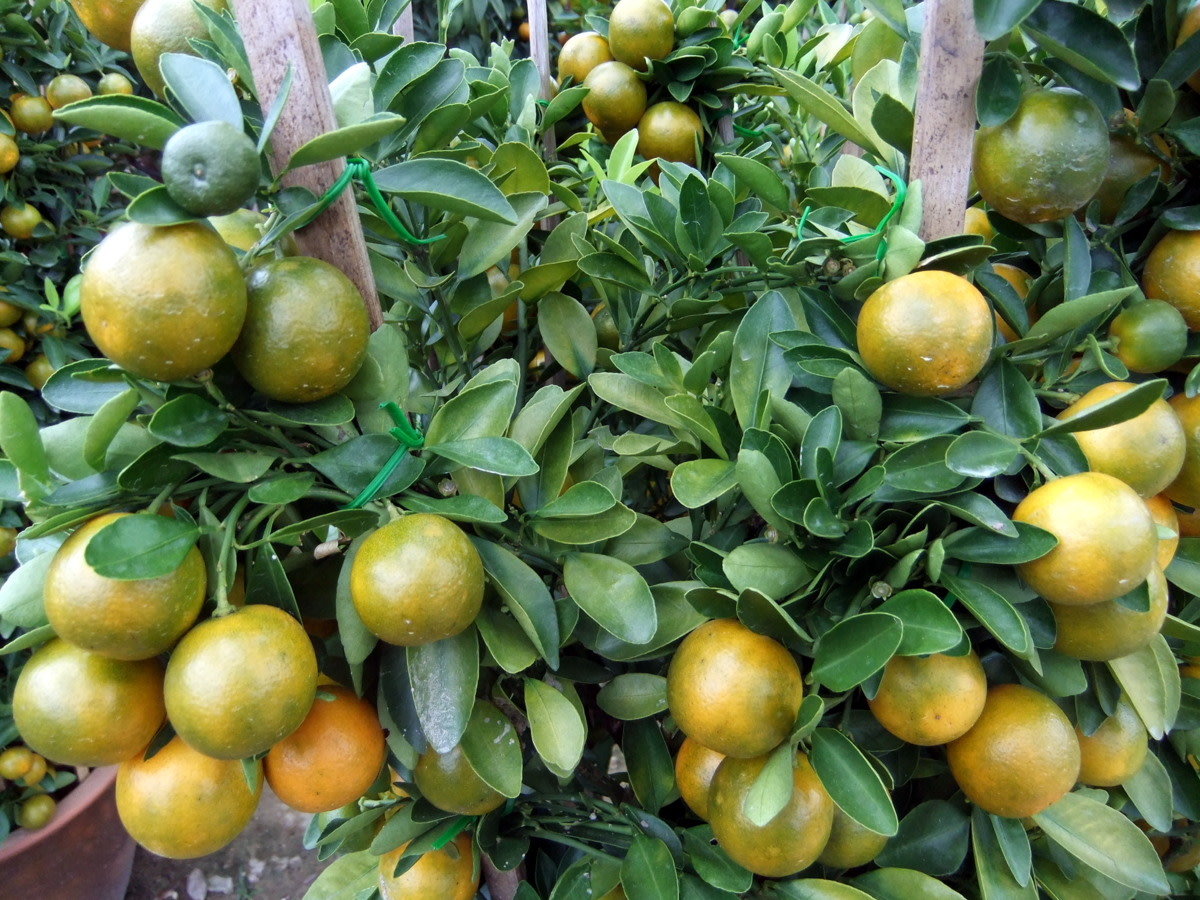 Orange fruits and the branches tied securely, makes a n attractive plant for Chinese New Year