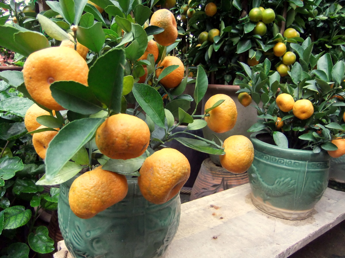 Tangerine and Orange: This orange tree is small enough for the reception counter, ideal for an office for the Chinese  New Year