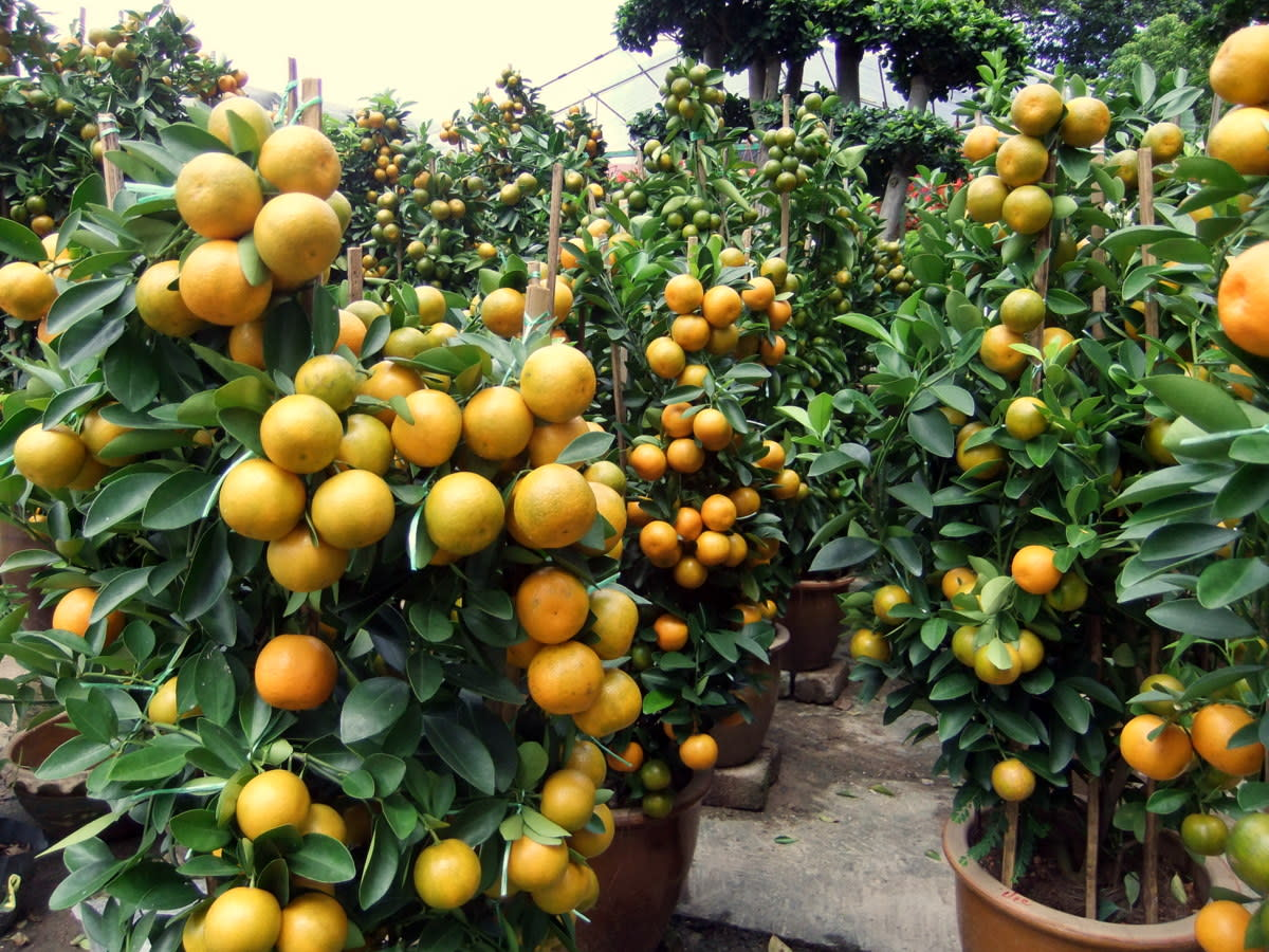 Tangerine and Orange: Miniature orange trees for the Chinese New Year celebration