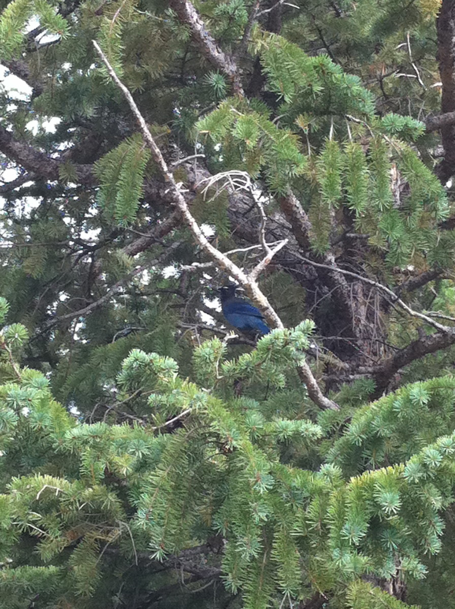 Bird in a tree right above the condo I stayed at in Estes Park, Colorado.