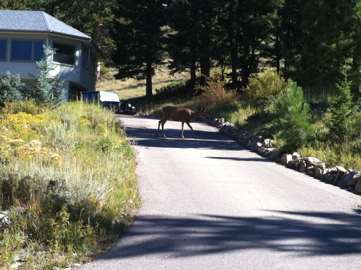 Deer in Estes Park, Colorado.
