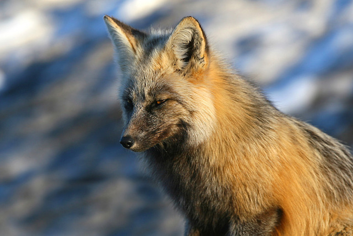 A beautiful red fox.