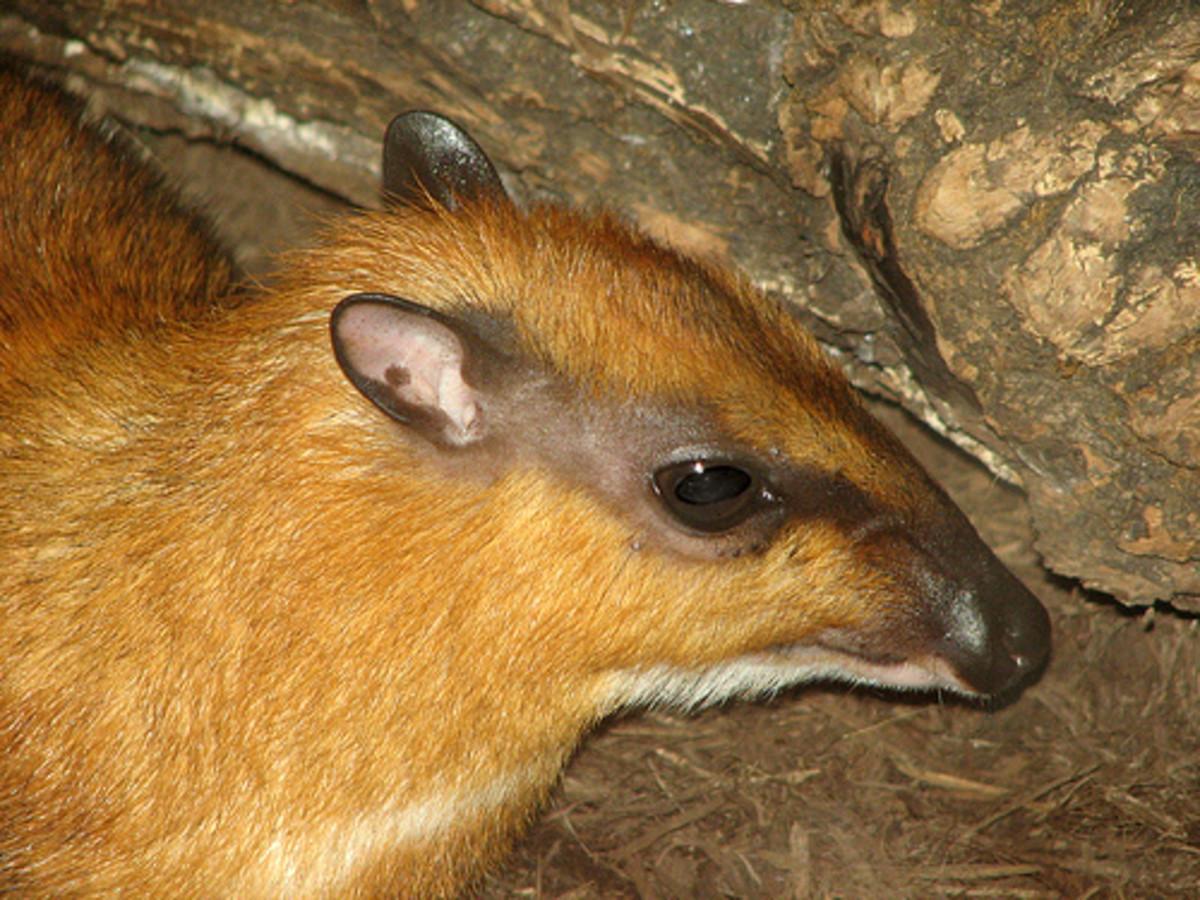 A Mousedeer