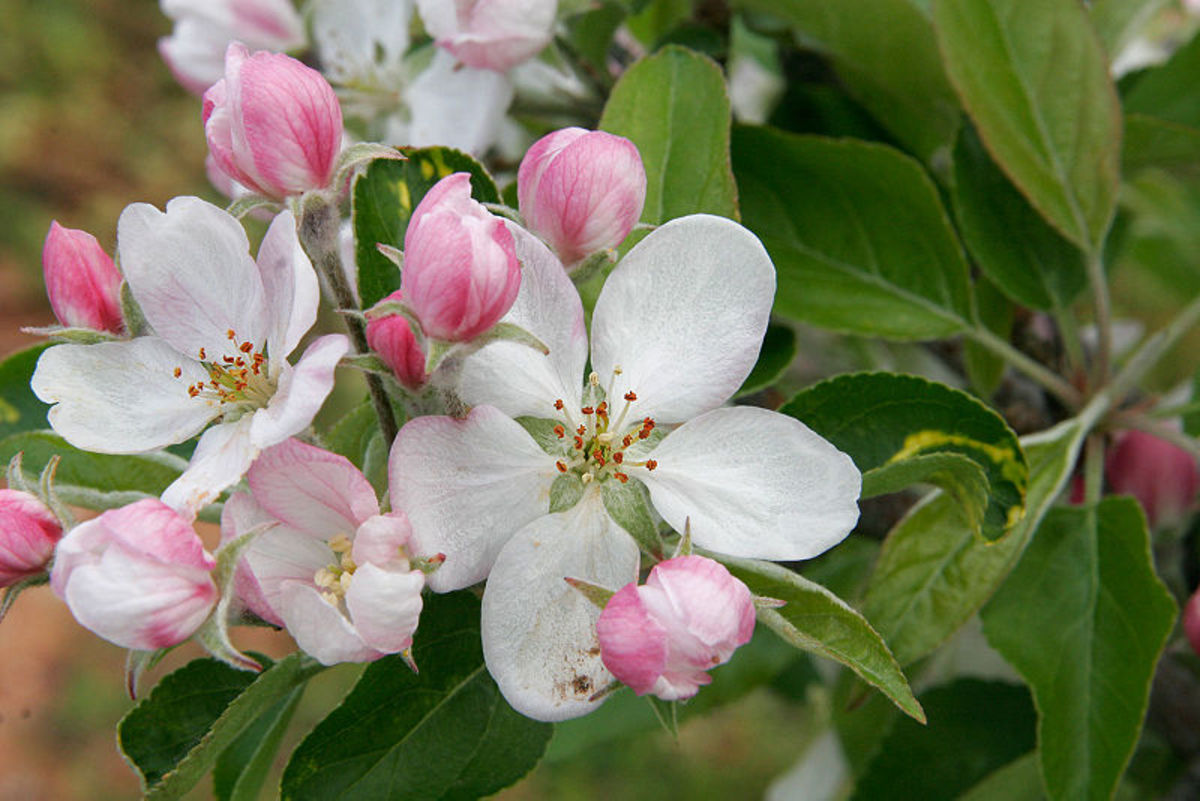 Apple blossoms are pinkish in color but they turn white as they get older.