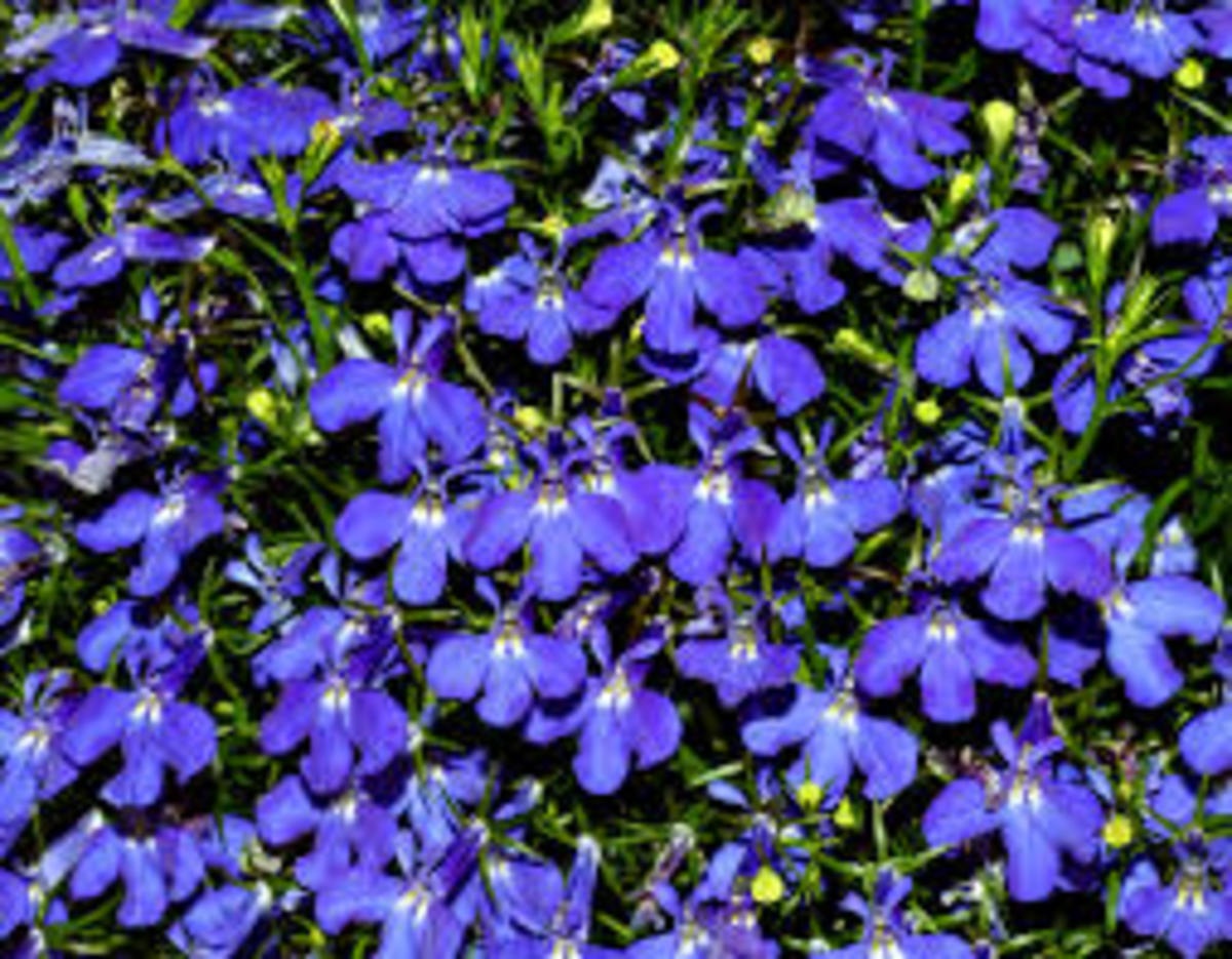 Use Lobelia To Support The Respiratory System